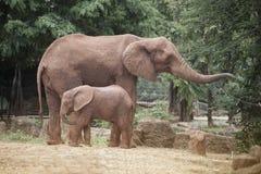 Afrikanska elefanter för moder och för son Royaltyfri Bild