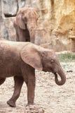 Afrikanska elefanter för moder och för son Arkivbild