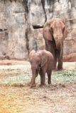 Afrikanska elefanter för moder och för son Royaltyfri Foto