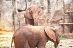 Afrikanska elefanter för moder och för son Arkivfoton