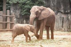 Afrikanska elefanter för moder och för son Royaltyfri Fotografi