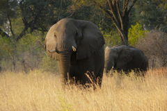 Afrikanska elefanter i Botswana, Afrika Arkivbilder
