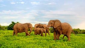 Afrikanska elefanter i buskesavannahen, Botswana. Royaltyfria Foton