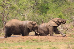Afrikanska elefanter i det löst Arkivbild