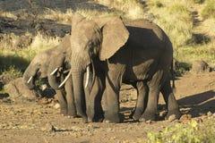 Afrikanska elefanter i eftermiddag tänder på Lewa naturvård, Kenya, Afrika Arkivfoton