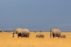 Afrikanska elefanter i grässlätt Fotografering för Bildbyråer