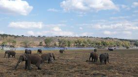 Afrikanska elefanter i naturlig miljö royaltyfria bilder