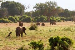 Afrikanska elefanter i savanalandskapet Royaltyfri Bild