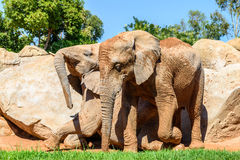 Afrikanska elefanter i zoo Arkivbilder