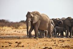 Afrikanska elefanter, Loxodon africana, dricksvatten på waterhole Etosha, Namibia Royaltyfria Foton