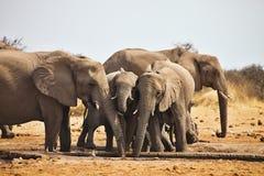 Afrikanska elefanter, Loxodon africana, dricksvatten på waterhole Etosha, Namibia Royaltyfri Fotografi