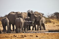 Afrikanska elefanter, Loxodon africana, dricksvatten på waterhole Etosha, Namibia Royaltyfri Foto