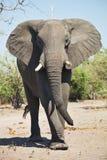 Afrikanska elefanter, Loxodon africana, i den Chobe nationalparken, Botswana arkivbilder