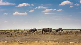 Afrikanska elefanter och sebror p? en waterhole i den Etosha nationalparken, Namibia royaltyfria bilder
