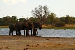Afrikanska elefanter på den Savuti kanalen Royaltyfri Bild