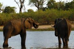 Afrikanska elefanter på den Savuti kanalen Royaltyfri Fotografi