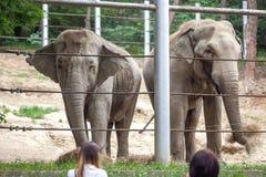 Afrikanska elefanter på den Tbilisi zoo, djur Arkivbild