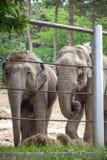 Afrikanska elefanter på den Tbilisi zoo, djur Royaltyfri Bild