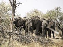 Afrikanska elefanter på elefanten sandpapprar waterhole, Botswana Royaltyfri Bild