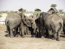 Afrikanska elefanter på elefanten sandpapprar waterhole, Botswana Royaltyfria Foton