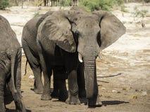 Afrikanska elefanter på elefanten sandpapprar waterhole, Botswana Fotografering för Bildbyråer