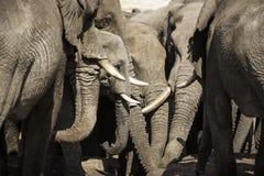 Afrikanska elefanter på elefanten sandpapprar waterhole, Botswana Royaltyfria Bilder