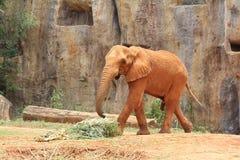 Afrikanska elefanter på zooen Royaltyfri Foto