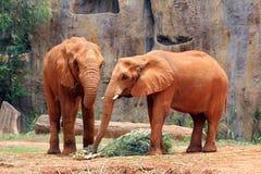 Afrikanska elefanter på zooen i thailand Fotografering för Bildbyråer