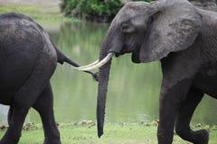 Afrikanska elefanter, Selous lekreserv, Tanzania Arkivbilder