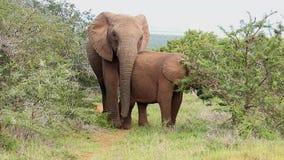 Afrikanska elefanter som bläddrar på ett taggigt träd arkivfilmer