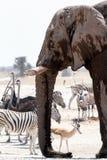 Afrikanska elefanter som dricker på en lerig waterhole med andra djur Royaltyfri Fotografi