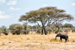 Afrikanska elefanter som går i savannah fotografering för bildbyråer