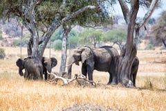 Afrikanska elefanter som går i savannah royaltyfri fotografi