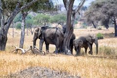 Afrikanska elefanter som går i savannah royaltyfri foto