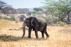 Afrikanska elefanter som går i savannah arkivfoton