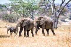 Afrikanska elefanter som går i savannah arkivbild