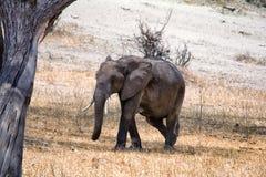 Afrikanska elefanter som går i savannah royaltyfri bild