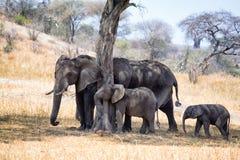 Afrikanska elefanter som går i savannah arkivbilder