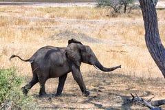 Afrikanska elefanter som går i savannah royaltyfria foton