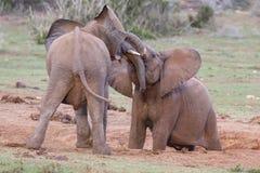 Afrikanska elefanter som har gyckel Royaltyfria Foton