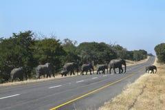 Afrikanska elefanter som korsar en väg - Zimbabwe Arkivfoton
