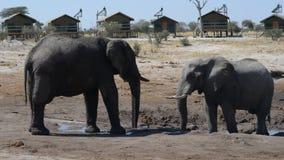 Afrikanska elefanter som samlar på vattendammet runt om turist- logar stock video