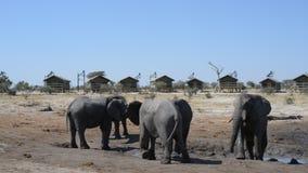 Afrikanska elefanter som samlar på vattendammet runt om turist- logar arkivfilmer
