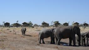 Afrikanska elefanter som samlar på vattendammet runt om turist- logar lager videofilmer