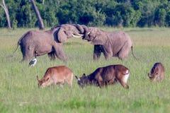Afrikanska elefanter som slåss, beten som tillsammans låsas royaltyfri fotografi