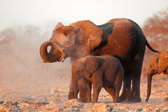 Afrikanska elefanter som täckas i damm Arkivfoton