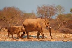Afrikanska elefanter som täckas i damm Arkivfoto