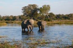 Afrikanska elefanter - Waterhole i Botswana Arkivfoton