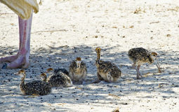 afrikanska fågelungar kläckte bara ostrichen Royaltyfria Foton