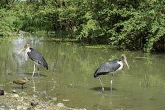 afrikanska fåglar royaltyfri bild